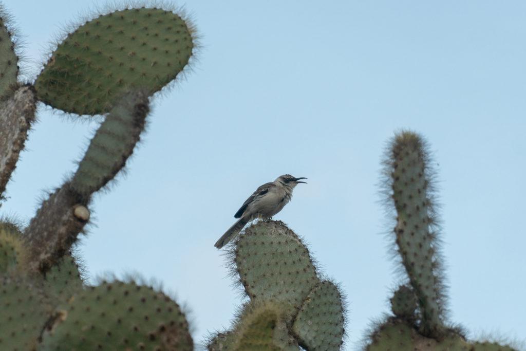 Galapagos Mockingbird 2