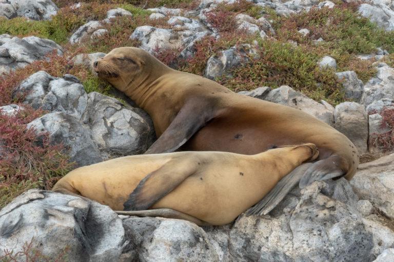 Sea Lion 7