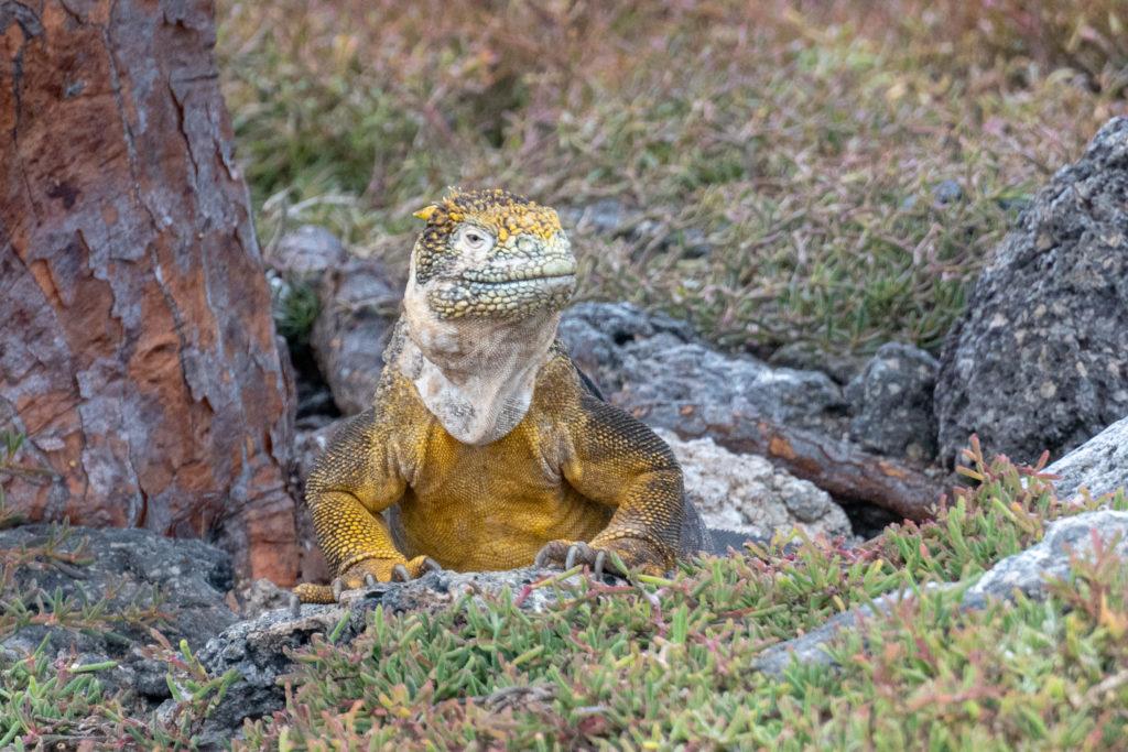 land iguana 1