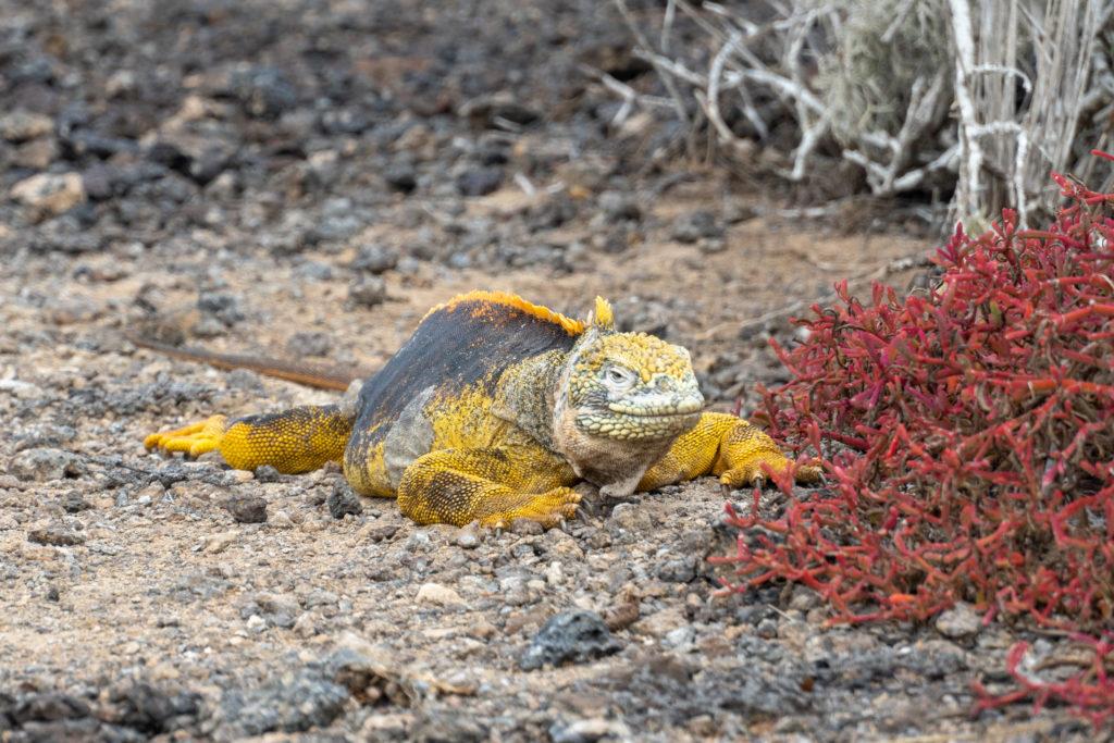 land iguana 3