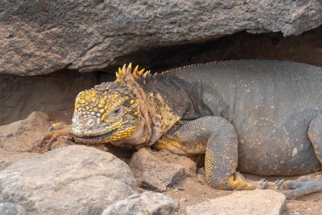 land iguana 4