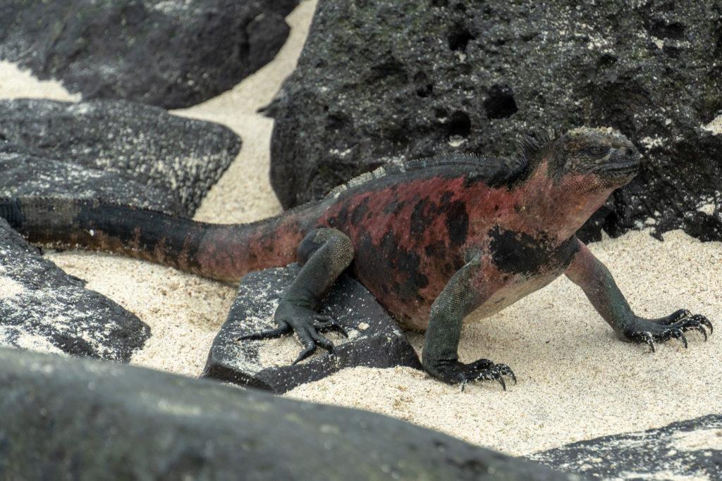 marine iguana 2
