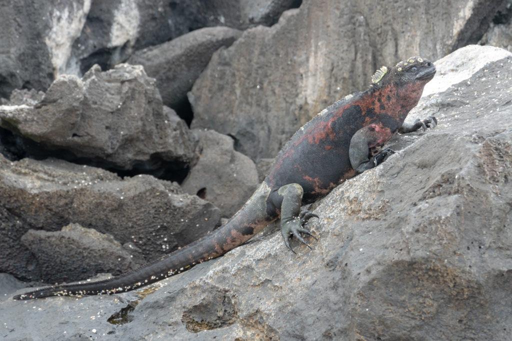 marine iguana 3
