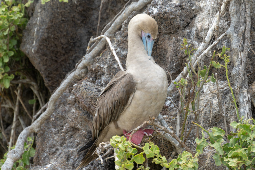 red footed booby 3