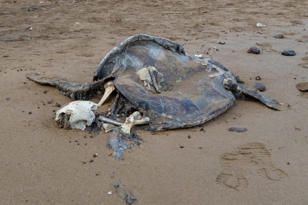 sea turtle carcass on beach