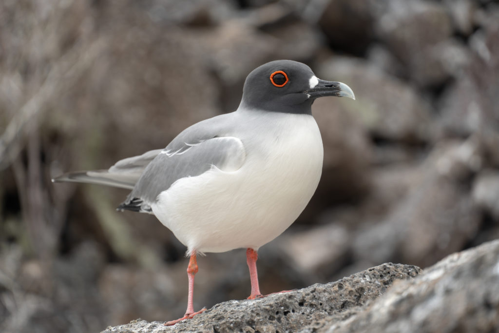 swallow tailed gull 2