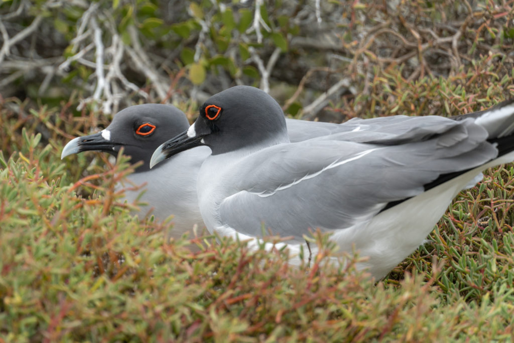 swallow tailed gull - pair