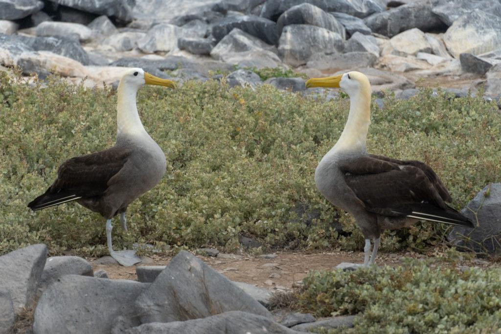 wave albatroses 1