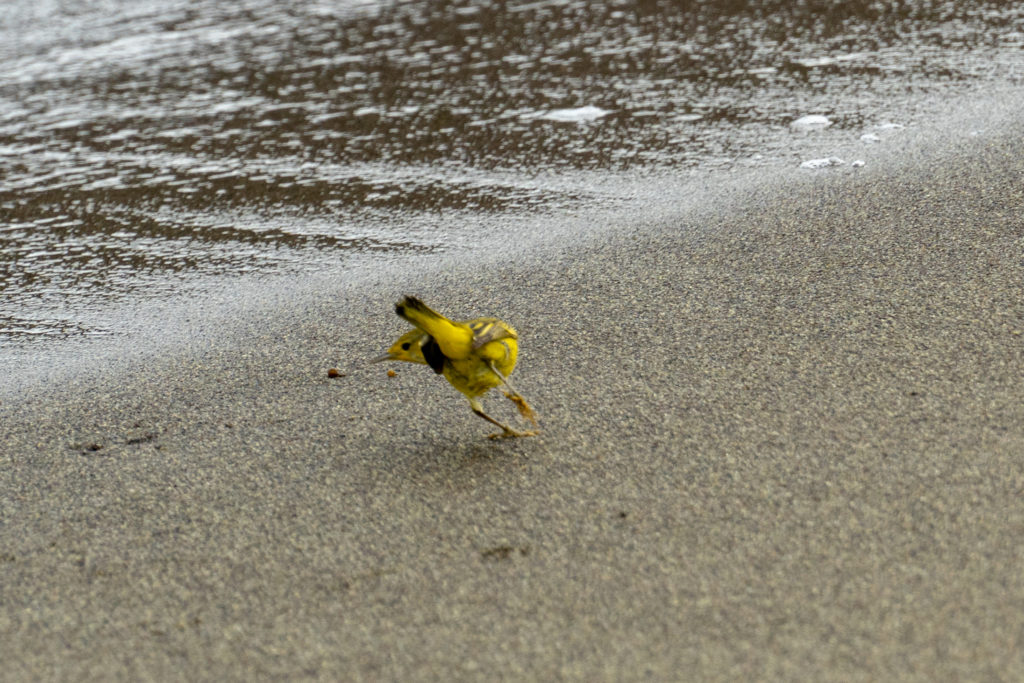 yellow warbler in surf
